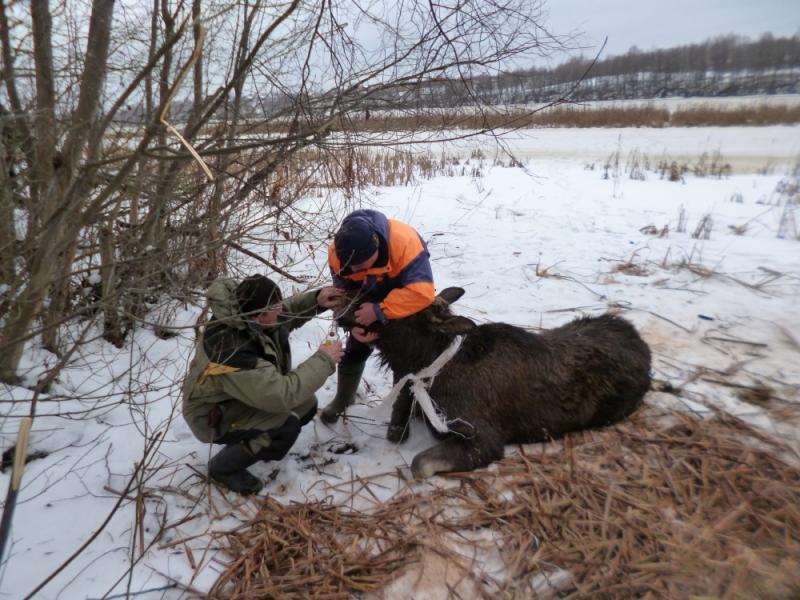 Лосиху, провалившуюся под лёд,  спасли