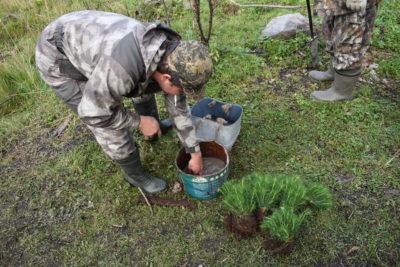 Тысяча молодых сосенок была высажена в сосновом бору