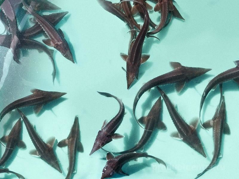 Рыбы и икры из области экспортируют всё больше и больше